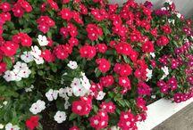 Catharanthus roseus - Vinca