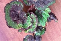 My Begonia's collection