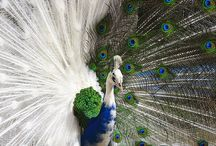 peacock love! / by Jackie Gordon