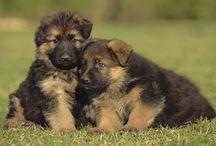 Celebrate the German Shepherd Dog!