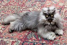 Colonel Meow / Colonel Meow était un chat persan-himalayen élu parmi les chats les plus mignons du web !