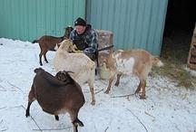 Animals / by Aagaard Farms