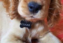 My lovely cocker Cookie / My sweet cocker