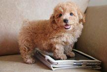 My cute toypoodle...Fabio Valencio / Little Cio