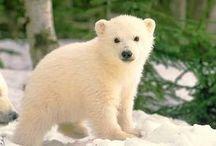 polar  bears / polar bears loves