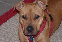 Rescue-A-Bull / Rescue dogs, bully breeds, pit bulls, adoption and foster opportunities. / by Kari Richards Conklin