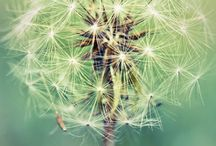 Dandelions / by Michelle Lundy