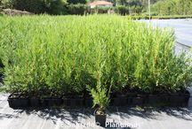 Plantas para setos