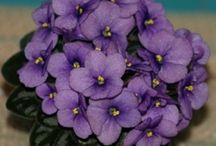 Favorite mini violets / A few of our favorite miniature African violets.