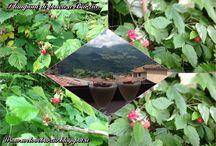 Barzio e la Valsassina / Frutti, fiori, ricette, piante, case, passeggiate, musica,