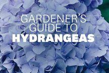 Hydranges