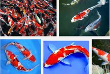 Kumpulan Ikan Hias Tercantik