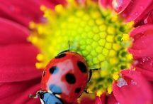 Ladybird - Beruška