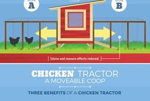 pet chooks