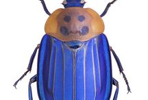 Beetles for Leo