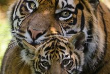 tigri si alte feline