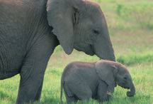 Baby Elephant and Mother Elephant / Cute baby elephant and mother elephant, tail gray green