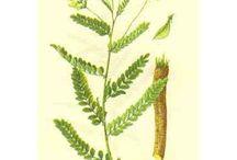 Herbs: Adaptogens