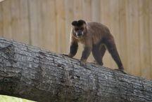 Capucins - petits singes