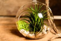 Living on Air / Fun with air plants