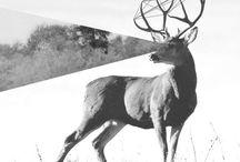 Do you deer much ?