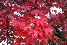Erables : beaux et magestueux / J'ai toujours aimé les érables et je crois que c'est pour leurs couleurs et la forme élégante de leurs feuilles.