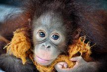 Planning your volunteer trip...with Orangutans