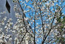 Magnolia symphony