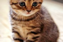 γατες