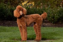 Dogs: Sweet reds / Red Goldens, red poodles, red dachshunds, if it's red, I want it!  / by Joyce Ervin