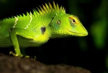 ANIMAL • Lizard