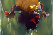 Iridáceae / Iris, Gladiolus, Crocus