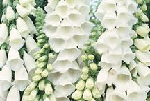 White garden / Fave plants for a white area in the garden