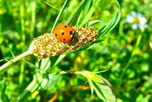 Ladybird jewellery for luck / What is the meaning of ladybird jewellery and the luck of the Ladybird, Ladybug, Ladybeetle - or whatever the name? Ladybirds are truly well-known and well-loved for their luck-giving gifts all over the world. Nearly all cultures believe that a Ladybug is lucky. Many societies also link the sight of a Ladybug with future luck in love, good weather, a financial windfall, or the granting of wishes. Having a Ladybird land on you is supposed to be particularly lucky. ¡Que suerte es la mariquita!