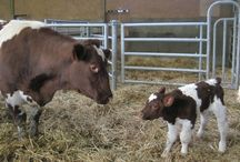 Naissance d'Info / Naissance du veau de vache préférée Gazette