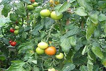 Growing Tomatoes / How to grow tomatoes, advice and tips