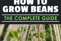 Bean growing