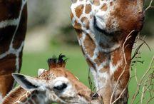 Love giraffes too