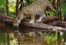 Wildlife Belize / Learn about the animals that live in Belize! Come see them for yourself when you stay at our resort!