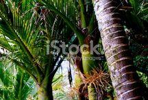 Nikau Stock Photography / Beautiful Imagery of Aotearoa's only Native Palm... the Nikau Palm (Rhopalostylis sapida)