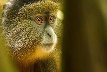 Tiere:  Affen