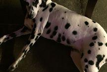 sunny - dalmatiner