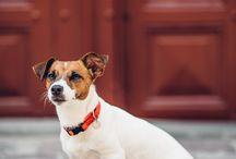 Jack Russell Terrier / sesja zdjęciowa psa