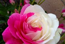 Blooming Beautiful / Roses and other beautiful flowers
