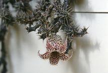 Stapelianthus