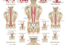 Ryggmusklee