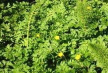 Wild Edibles & Weeds / Exploring and investigating the many benefits and value of so-called weeds and other wild edibles for food, foraging, medicinals and their role in healthy soils.