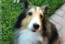 SSRI Sheltie Magnets / The Shelties, Sheltie Mixes and Honorary Shelties of Southland Sheltie Rescue!