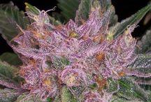 Marijuana Plants - Pretty Cannabis / Marijuana Plants and Pretty Cannabis