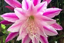 Epiphyllum kaktusar